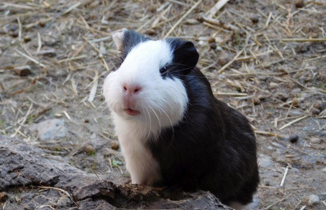 Frequently underestimated: guinea pigs as an economic factor